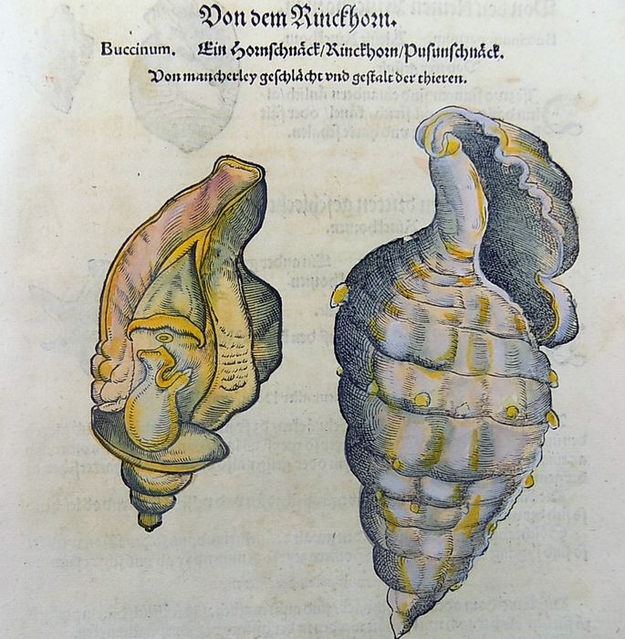 Gesner, Conrad 1516-1565 - Folio with 9 hand coloured woodcuts on recto & verso of one leaf - Sea Shells, Snails: Rinckhorn, Buccinum - 1557/1557