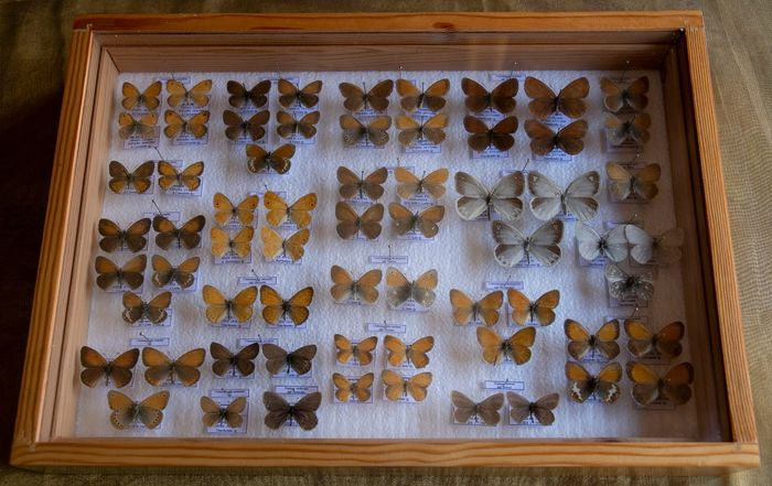 Mixed Heaths or Ringlets - labeled - in glazed display case - Coenonympha sp. - 5.5×27×39 cm