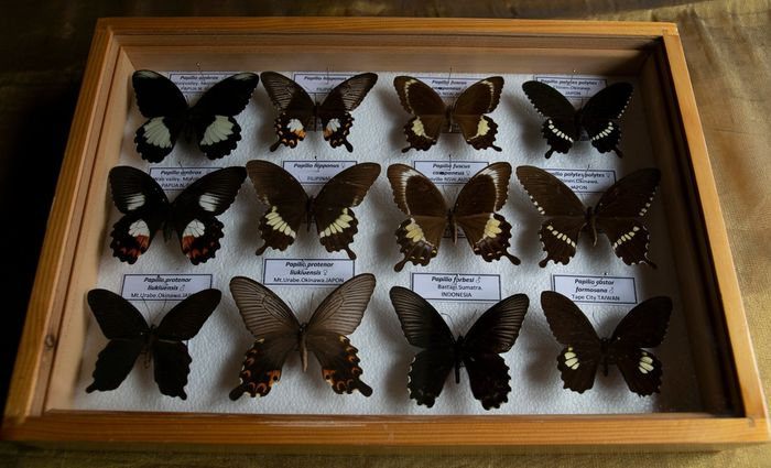 Mixed Asian Papilios - labeled - in glazed display case - Papilionidae sp. - 5.5×27×39 cm