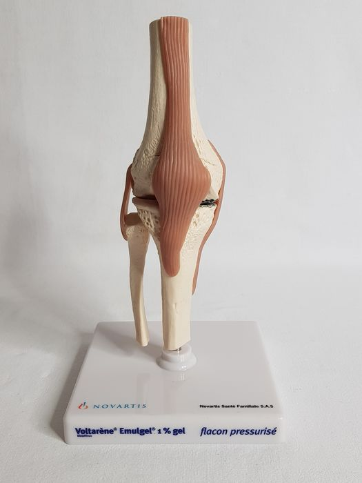 Articulated knee anatomical model - Plastic