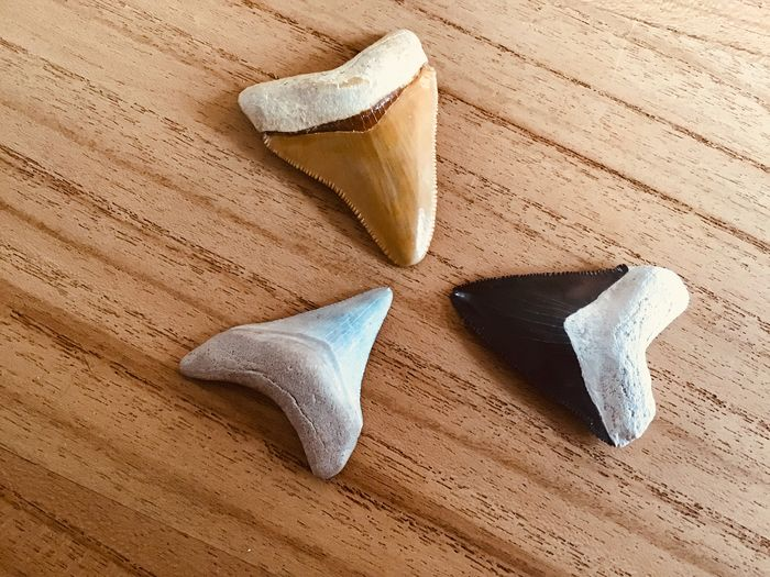 Haai - Tand - Bone valley Carcharodon megalodon - 5.7×5.4×4.3 cm