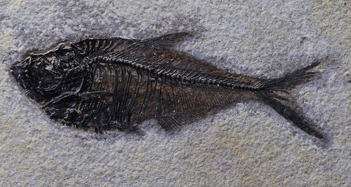 Bigger sized Outstanding fossil fish - Microscope preparation - No color added - Raised bones  - Diplomystus dentatus ( 14.5 cm ) - 25.5×16×1 cm