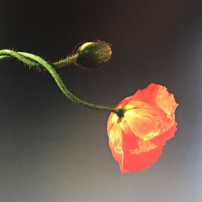 Robert Mapplethorpe - Poppy