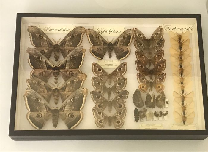 ITALIAN COLLECTION OF MOTHS- Giant Moths with open wings, location tags, cocoons, pupae, larval stages and eggs - LEPIDOPTERA SATURNIIDAE & BRAHMAEIDAE - 6×39×26 cm