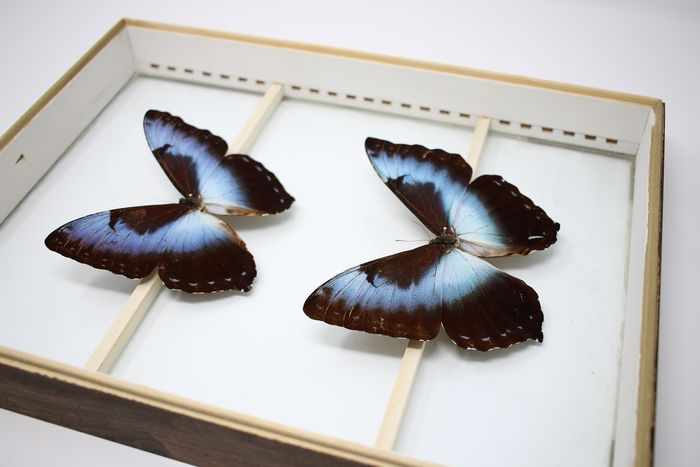 Antique Butterfly Display - glass-cased - ex-London Natural History Museum's Rothschild, Cockayne & Kettlewell Collection - various non-CITES species - 38×29×6 cm