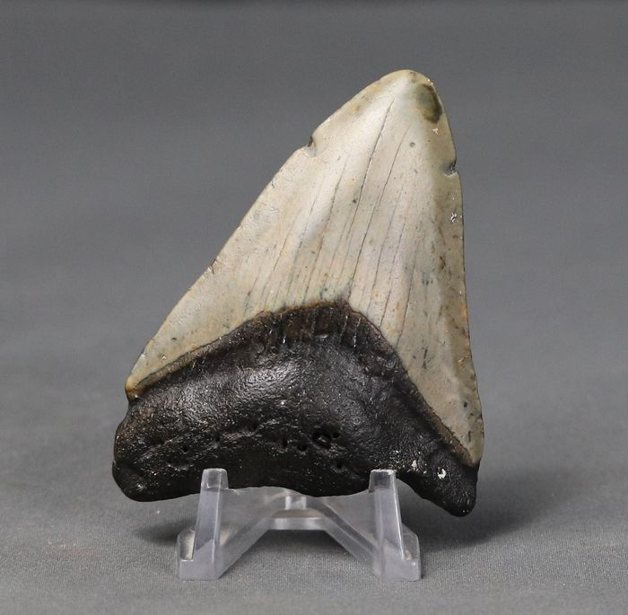 Megalodon Shark Tooth - nice color - Carcharocles megalodon 7.9 cm  - 7.9×6.9×5.6 cm