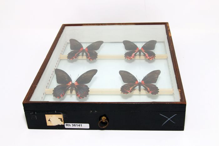 Mixed Butterflies - glass-cased - ex-London Natural History Museum's Rothschild, Cockayne & Kettlewell Collection - various non-CITES species - 38×29×6 cm