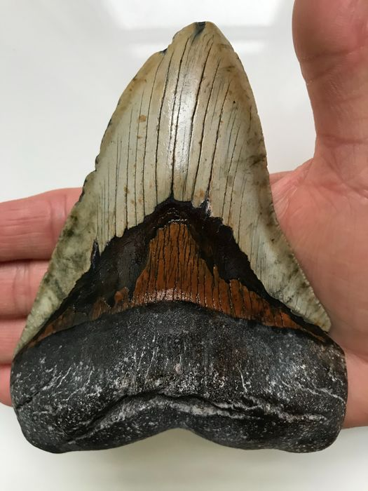 Grote Megalodon-haai - Tand 13,7 cm (5,39 inch) - Carcharocles megalodon