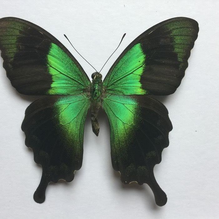 Peranthus Swallowtail in shadow box with Anti-reflective Glass - Papilio peranthus - 18×16×3 cm