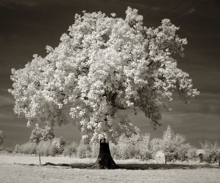 "Hans Vos (1960) - ""Tree"", nature in infra-red"
