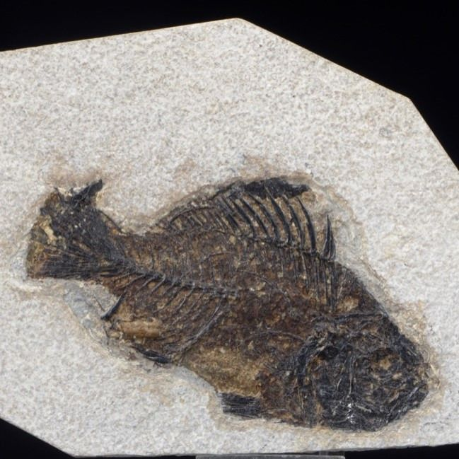 Fossil Fish with Coprolite - On matrix - Priscacara sp - 190×120×10 mm