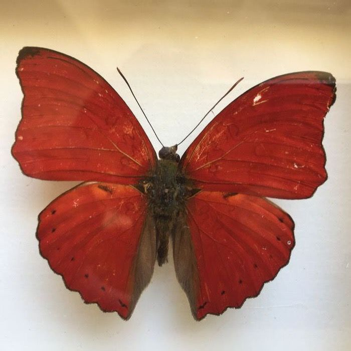 Blood-red Glider - Framed - Cymothoe sangaris - 12×12×3 cm