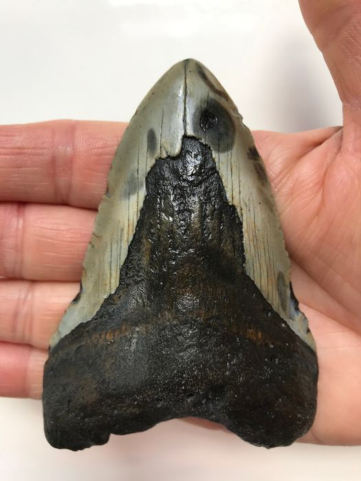 Megalodon - Fossil Shark Tooth 10,0 cm (3.94 inch) - Carcharocles megalodon