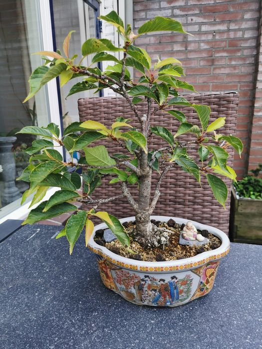 Japanese cherry bonsai (Prunus serrulata) - 9×36 cm - Ungarn