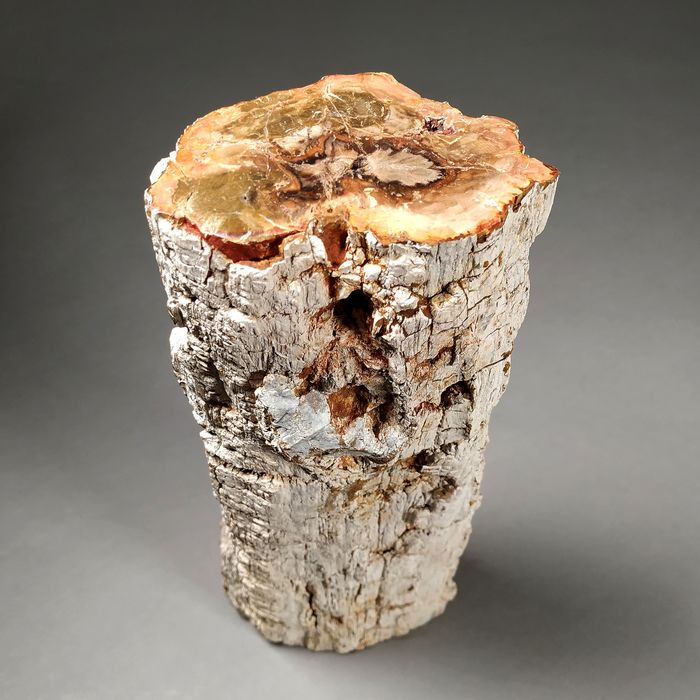 Fossil Wood - trunk section - 24×9.5×6.5 cm