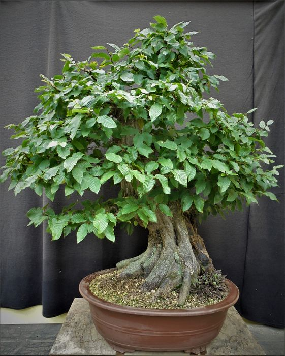 Hainbuchenbonsai (Carpinus) - 90×95 cm - United Kingdom (UK)