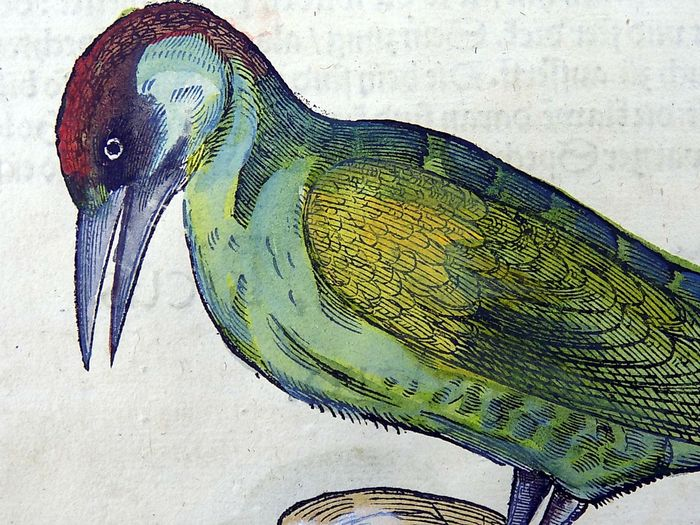 Gesner, Conrad 1516-1565 - Folio with 2 hand coloured woodcuts - Ornithology: Woodpeckers with descriptive text - From the Rare First Edition in German - 1557/1557