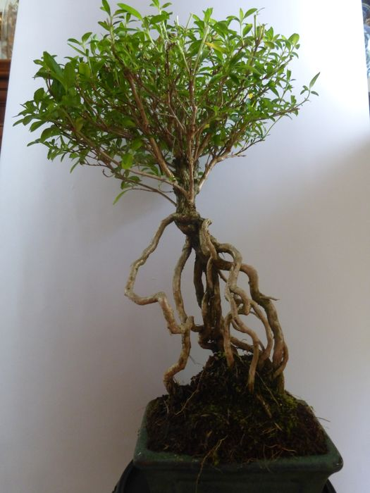 Junischnee-Bonsai (Serissa foetida) - 34×20 cm - Japan