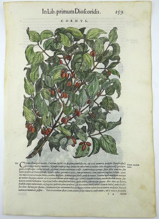 Giorgio Liberale (1527–79); W. Meyerpeck - Two types of Dogwood (Cornus sanguinea) - 2 Folio woodcuts on verso and recto of one leaf - 1565