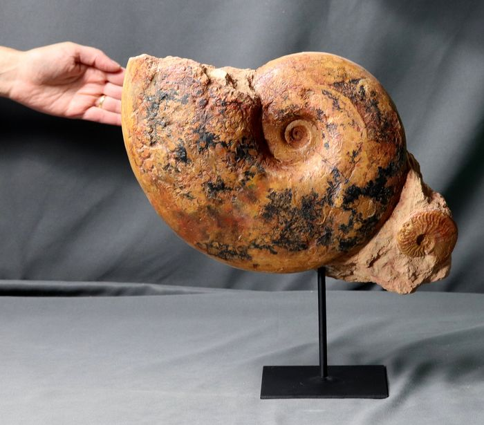 Large, colourful natural Ammonite Association - On stand - Pachylytoceras dilucidum ( 28 cm / 10.7 kg ) - 38×23×11 cm