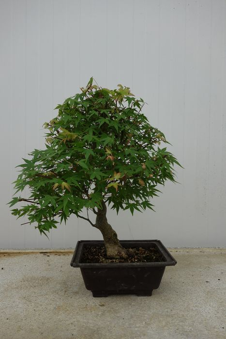 Japanese maple bonsai (Acer palmatum) - 42×35 cm - Korea