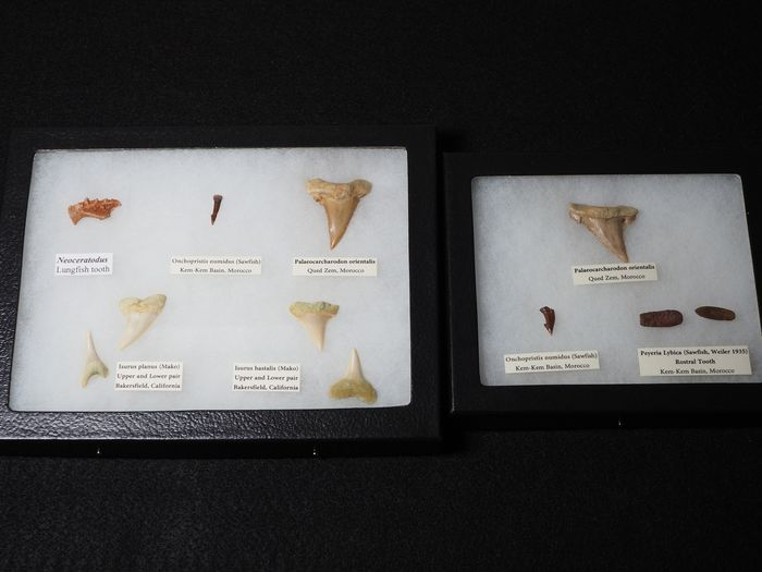 Display cases of Fossil Teeth, mostly Sharks - - - various species
