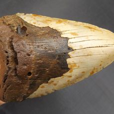 Megalodon Shark - Tooth - Carcharocles megalodon - 143×90×27 mm