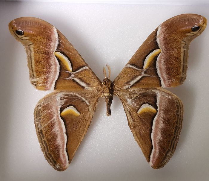 Silk Moth - Shadow box - non-CITES species - 0×15×18 cm