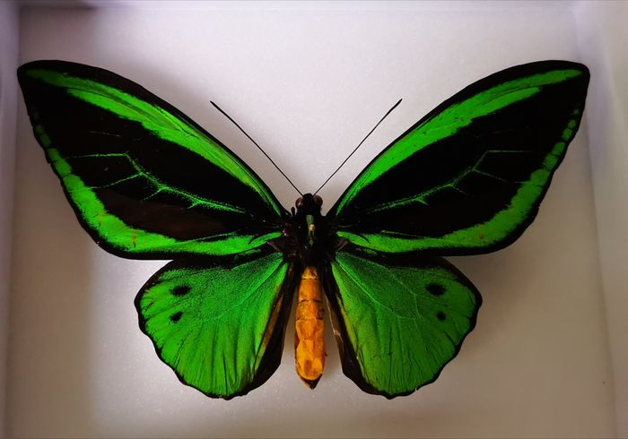 Priam's Birdwing, aka Common Green Birdwing Shadow box - Ornithoptera priamus - 18×5×15 cm - E-08146/18
