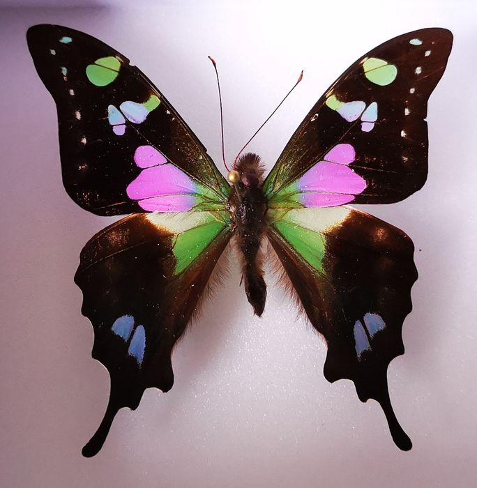 Purple Spotted Swallowtail - Shadow box - Graphium weiskei - 10×5×10 cm