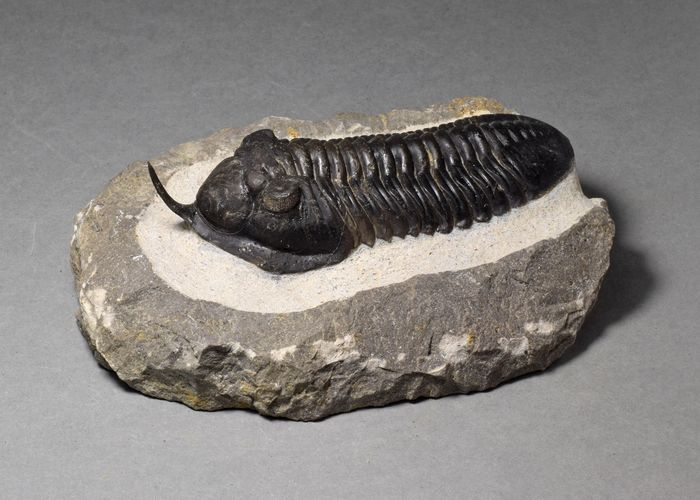 """Fine """"flying"""" trilobite with rostrum - Morocconites malladoides"""