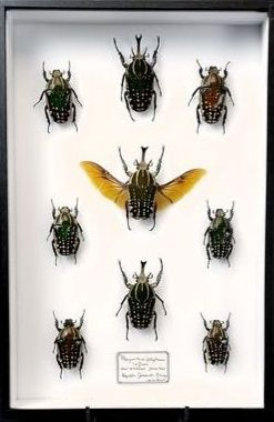 Giant African Fruit Beetles in museum-type display case male and female - Mecynorrhina polyphemus - 26×40×5.5 cm