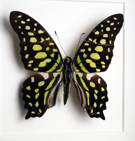 Tailed Jay - Framed - Graphium agamemnon - 16×16×4.5 cm