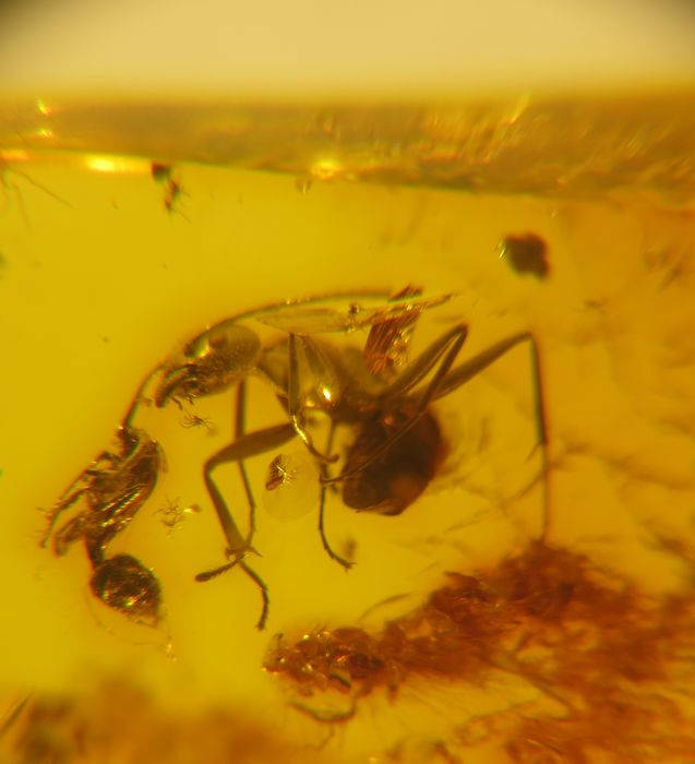 fight between 2 ants in a baltic amber - 7.5×10.9×26.8 mm