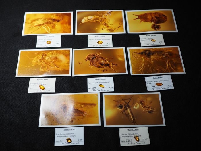Baltic Amber - Cabochon - Lot of 8 with 4x6 photographs