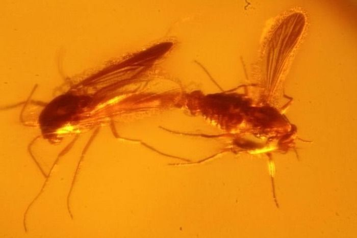 "Mosquito lovers from the Baltic Amber Forest! - ""Chironomidae"""