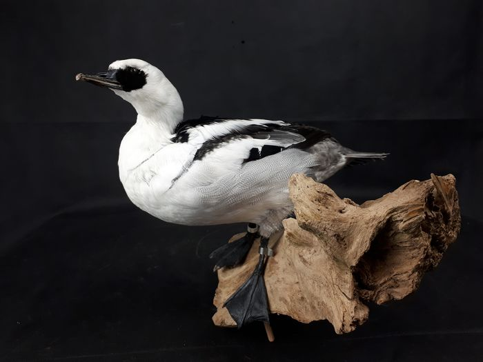 Smew, adult male on natural base - new mount - Mergellus albellus - 23×12×32 cm