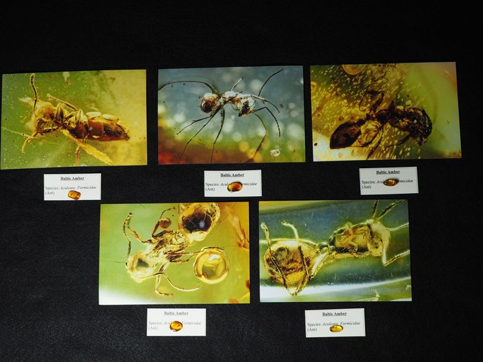 Baltic Amber lot, 5 Ant inclusions with HD photographs - Cabochon - Aculeata, Formicidae (Ants)