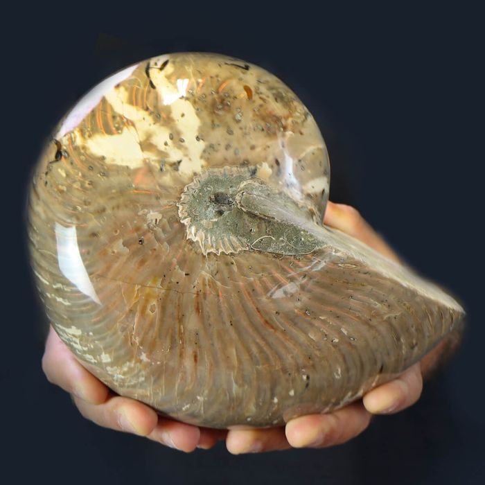 High Quality Nautilus with Opalescence - Giant - 220×180×140 mm