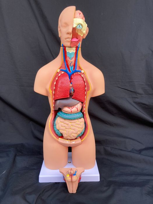- Vintage 19-piece Anatomical Model - Male and Female - 55×20×16 cm - - - 1