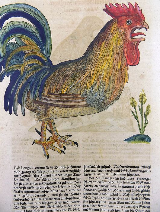 Conrad Gesner (1516-1565) - Folio leaf with 2 woodcuts to recto and verso - Ornithology: Poultry Chicken Rooster Vulture - Hand coloured - Folio Woodcut - 1669