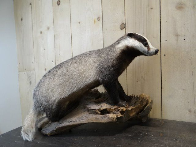 European Badger - full body - - Meles meles - 75×35×55 cm