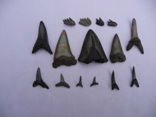 Assorted Fossil Sharks' Teeth, including Megalodon - - - various species (15 pce)