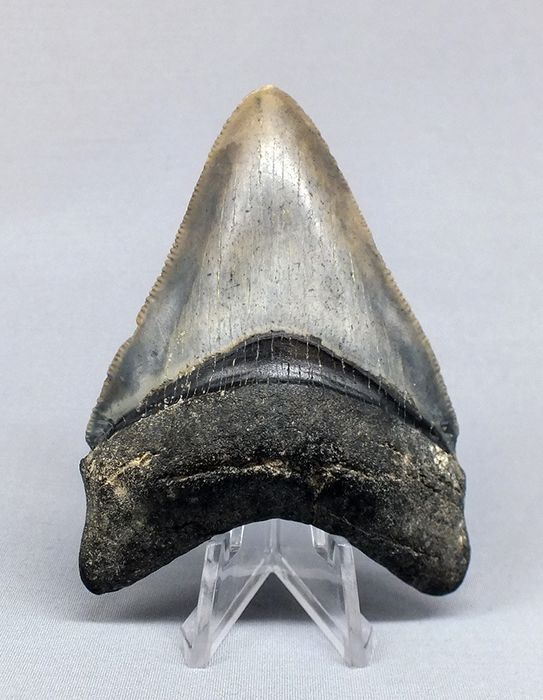 Fossil Megalodon Shark - Tooth - 7,2 cm - Carcharocles megalodon