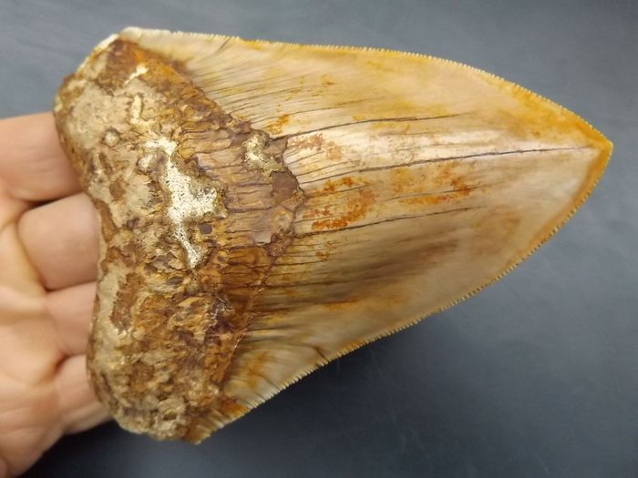 Megalodon Shark - Tooth - Carcharocles megalodon - 125×92×21 mm