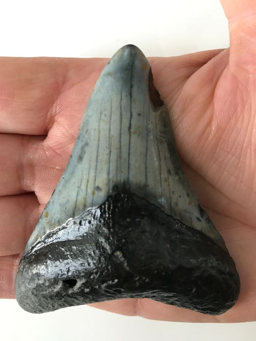 Megalodon - Fossil Shark Tooth 8,4 cm (3.31 inch) - Carcharocles megalodon