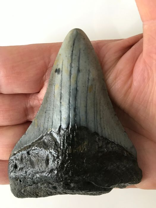 Megalodon - Fossil Shark Tooth 9,1 cm (3.58 inch) - Carcharocles megalodon