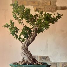 Bonsai de Ficus Retusa - 1.1×1.1 m - Spanje