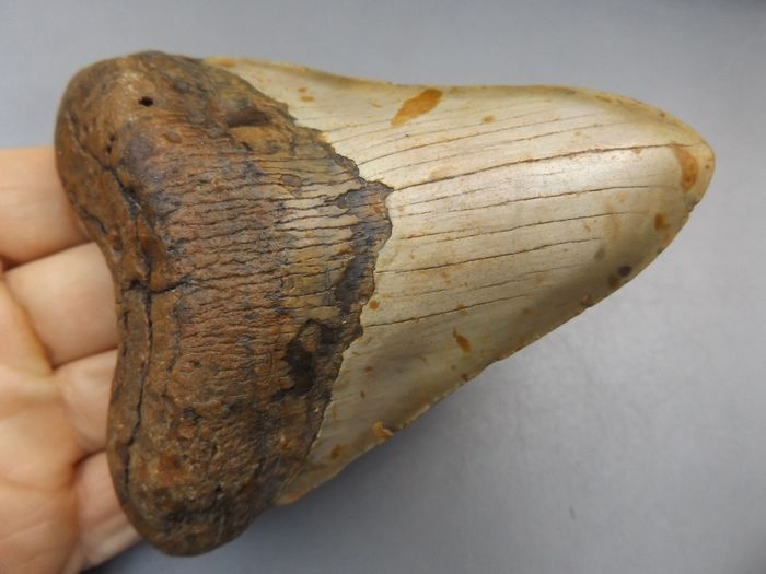Megalodon Shark - Tooth - Carcharocles megalodon - 116×91×27 mm