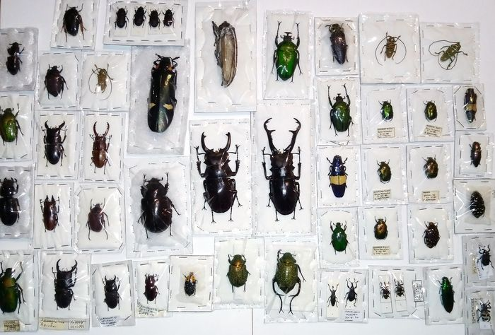 Collection of all-world Hard-cased Beetles including Stag Beetles - individually packaged - various named non-CITES species - 0×0×0 cm - 44